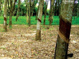 Heveicultura – cultivo da seringueira